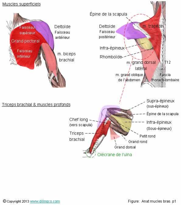 MUSCLES DU BRAS PDF DOWNLOAD