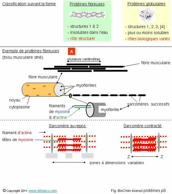 rôle structural et fonctionnel des protéines