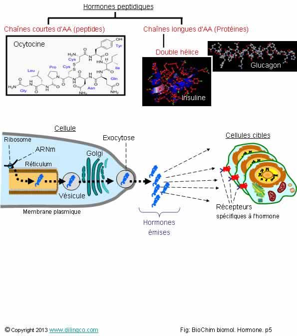 cellules cibles du glucagon
