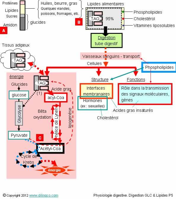 schéma cellule gastrique pompes et gradients